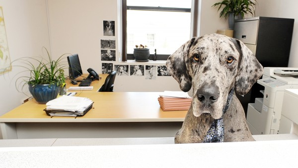 Billy, a 2-year-old great Dane, often welcomes visitors and clients of Bill Cote at his law office in Lewiston.
