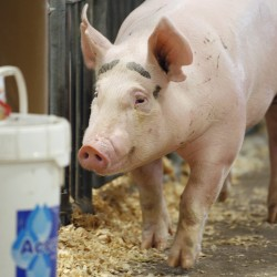 CDC warns about pig flu at fairs