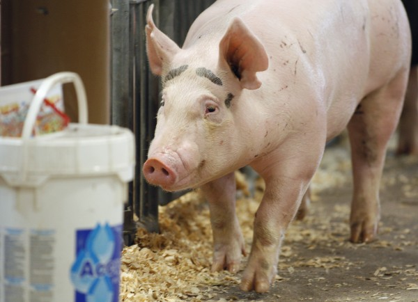 In this Aug. 1, 2012 photo, a pig makes its way through the Swine Barn at the Ohio State Fair in Columbus. The Centers for Disease Control and Prevention said Thursday, Aug. 9, 2012, there's been a five-fold increase of cases of a new strain of swine flu that spreads from pigs to people. The flu does not seem to be unusually dangerous, like the strain in 2009 that killed at least 12,000. Most or all of the cases appear to have spread from pigs to humans, meaning it's not very contagious.