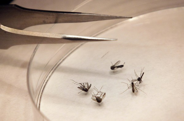 In this Aug. 16, 2012 file photo, mosquitos are sorted at the Dallas County mosquito lab in Dallas. U.S. health officials say there's been an alarming increase in the number of West Nile cases. So far there have been more than 1,100 cases reported through the middle of August. That's three times as many as usually seen at this point in the year. About half the cases are in Texas.  Most West Nile infections are reported in August and September.