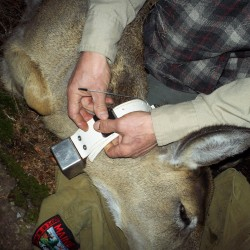 A white-tailed deer is fitted with a global positioning system/satellite collar as part of a University of Maine at Fort Kent and Maine Department of Inland Fisheries and Wildlife study. Photo courtesy of the University of Maine at Fort Kent.