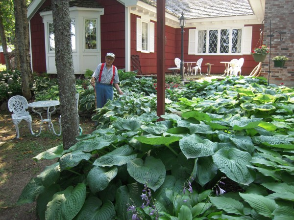 Arthur Mraz is surrounded by a few of the 400 varieties of hostas he nurtures in his yard in Fort Fairfield.