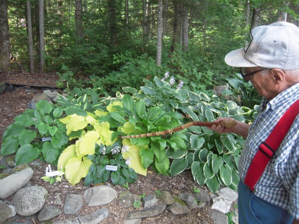 Arthur Mraz recites the names of his many hostas, pointing them out with his hand-carved Native American walking stick as he gives a recent tour of the gardens at his Fort Fairfield home.