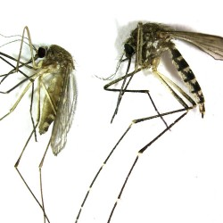 Rainy weather's a summer treat for mosquitoes