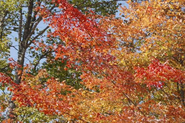 Reds, oranges and yellows intermingle in the changing foliage alongside Route 2 in Greenbush on Sept. 25, 2012.