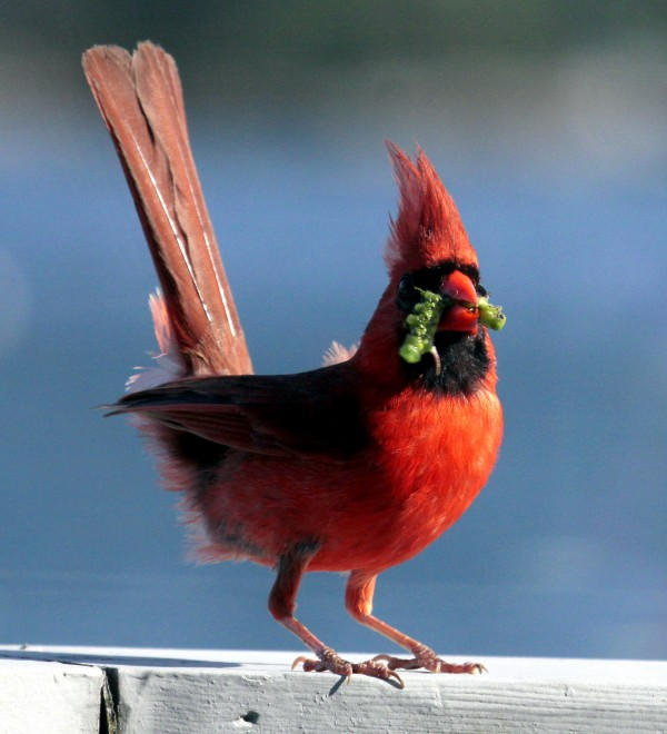 Cardinals are common in Maine now, but originally were limited to the southeastern U.S. It is the state bird of seven states.