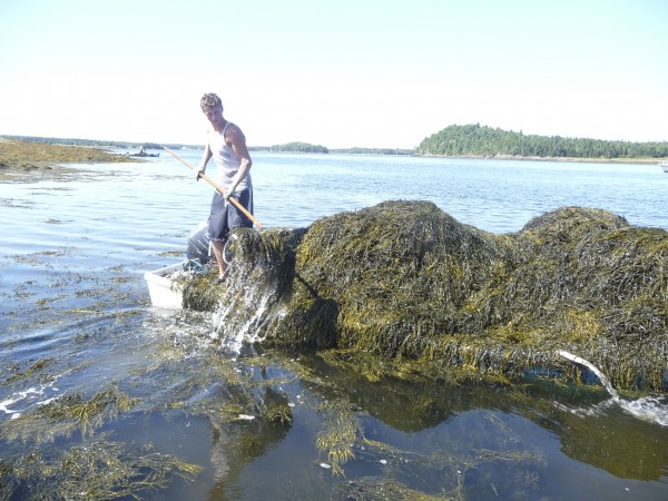 Jerry Lingley, 17, of Pembroke harvests rockweed in Cobscook Bay for Acadian Seaplants in 2009. A good harvester can cut five tons of seaweed a day and get paid $43 per ton.