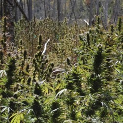 Mexican man pleads not guilty to helping run Washington County pot farm