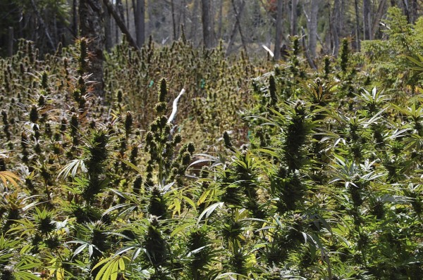 Marijuana plants authorities seized in Washington County in 2009.
