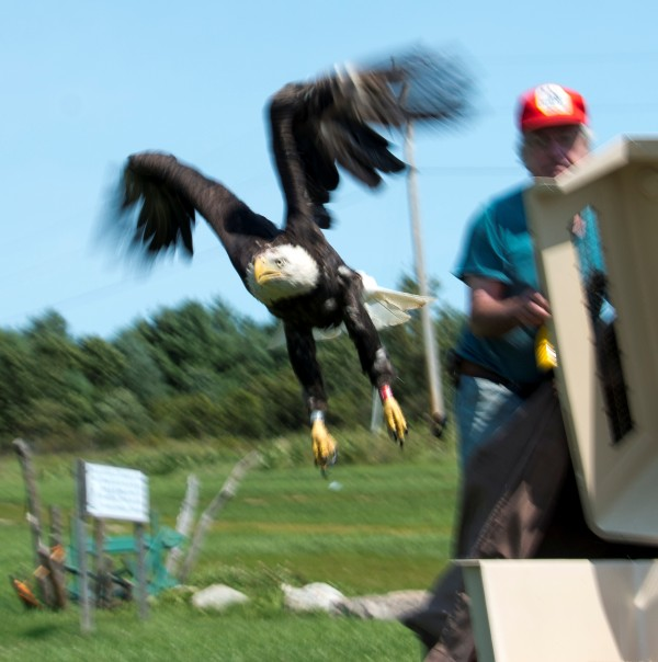 This bald eagle was released Aug. 30 from Avian Haven, a rehabilitation facility in Freedom, after having recovered from a broken wing.