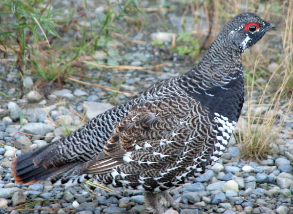 Sitting still can put birds at ease, and may result in spruce grouse stopping by for a visit.
