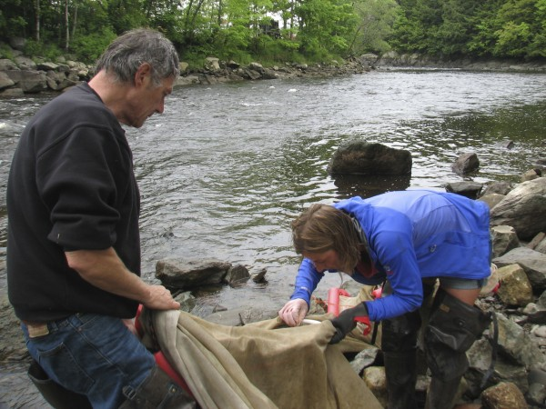 Dave Pelletier of Surry (left) and Jessica Card of Franklin, examine a fyke net for stray elvers as they dismantle the net on the shore of the Union River in downtown Ellsworth in May 2012.