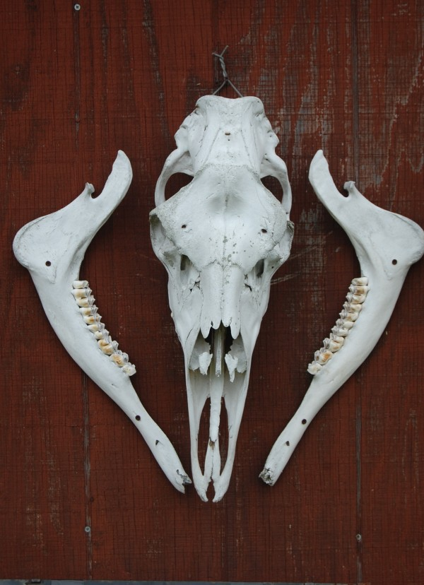 The skull and jawbones of a native black bear decorate the North County Adventures camp where two groups of veterans of the wars in Iraq and Afghanistan were invited by owner Jim Morse for a week of guided black bear hunting at no cost.