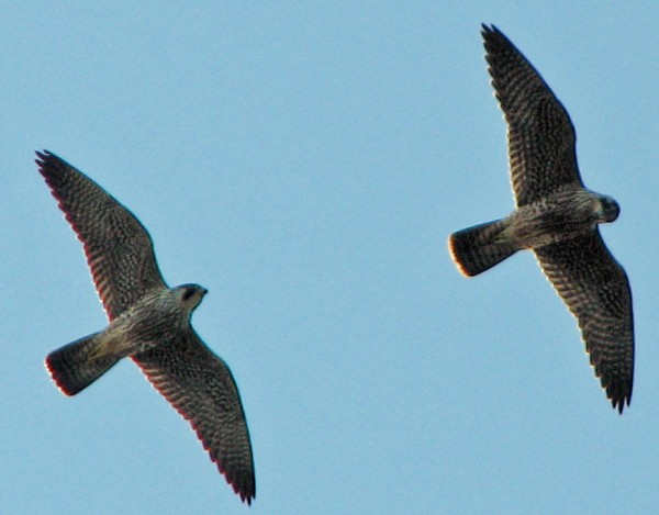 Peregrine falcons can reach a speed of 200 mph in a dive, making them the fastest animals in the world.