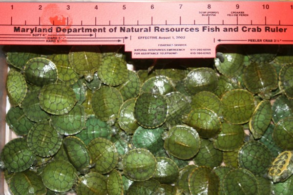 Maryland authorities have seized about 500 undersized turtles in the past year, including some from a vendor in the parking lot of an amusement park. These undersized Red Ear Slider turtles were seized in 2011 outside of Lexington Market in Baltimore, Md. A rekindled interest in tiny turtles as pets has been linked to an outbreak of salmonella.