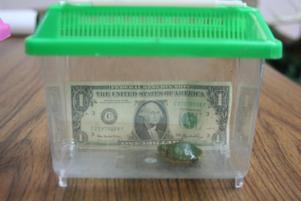 The Food and Drug Administration in 1975 banned the sale of turtles with shells less than four inches long, but a rekindled interest in tiny turtles as pets has been linked to an outbreak of salmonella. This photo shows an undersized Red Eared Slider turtle that was seized by Maryland natural resources officers.