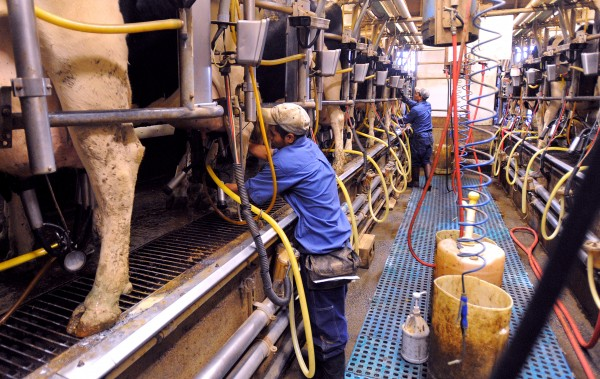 Workers milk the cows at the Misty Meadows Farm in Clinton on Thursday. The farm has 1,100 holstein cows and they milk about 550.