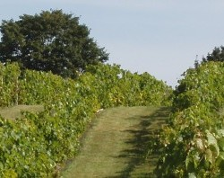 The vineyards at You-nity Winery in Unity.