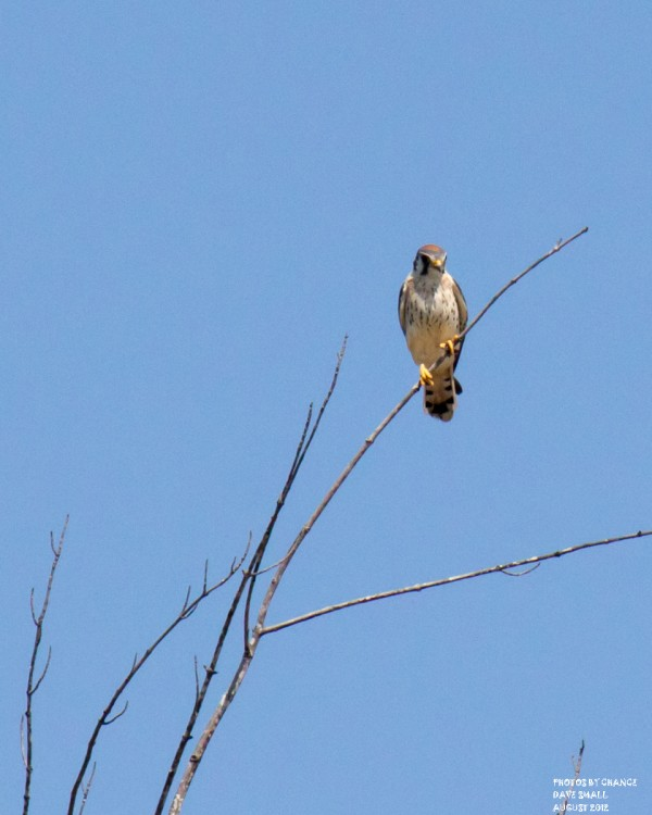 An American kestrel spotted off the Stud Mill Road.