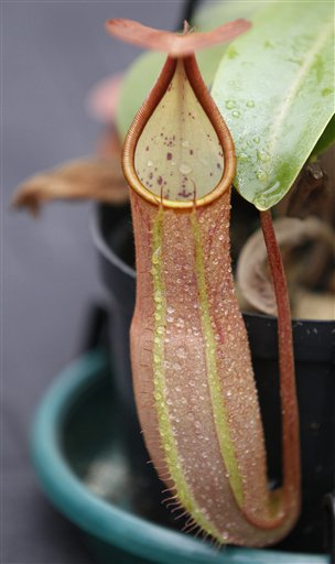 A Nepenthes Sanguinea, a carnivorous plant commonly known as a pitcher plant, is displayed at the 11th annual Orchid Exposition in Bogota, Colombia, Thursday, Sept. 20, 2012. Colombia is ranked as one of the top countries in the world for its diversity of orchids.