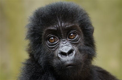 In this picture taken Saturday, Sept. 15, 2012 and released by Virunga National Park on Monday, Sept. 24, 2012, a baby Grauer's gorilla that had been poached from Kahuzi-Biega National Park is seen at the Senkwekwe Orphan Gorilla Center at Virunga National Park in eastern Congo. Virunga National Park says the rescue of two poached baby Grauer's gorillas raises fears that other members of the endangered species found only in eastern Congo have been killed. Fewer than 4,000 Grauer's gorillas remain, down from about 17,000 in 1995.