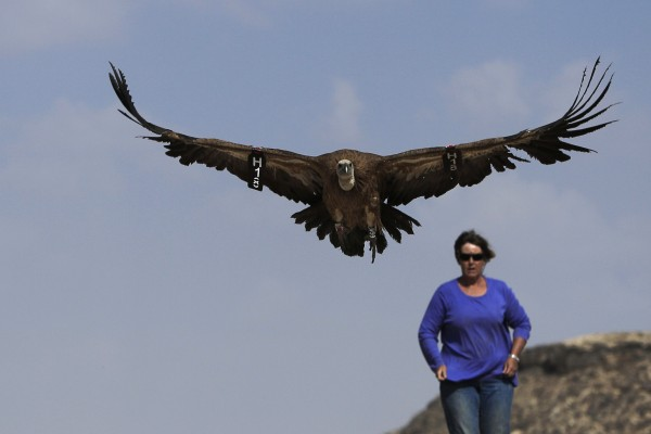 A woman watches a released eagle in the southern Negev Desert near Kibbutz Sde Boker on Monday, Sept. 10, 2012. The Society for the Protection of Nature in Israel trapped 96 eagles recently and released them after the birds underwent examination and each has received a number and a ring.