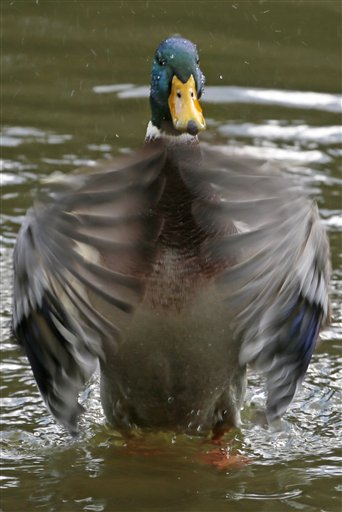 A duck swims during an autumn day in a pond in the Tsaritsino estate in southern Moscow, Russia on Wednesday, Sept. 19, 2012.