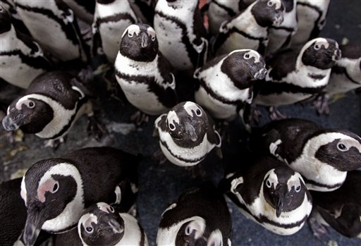 African penguins gather to keep warm as others are fed sardines by staff at the South African Foundation for the Conservation of Coastal Birds after they were recently found covered in oil on Robben Island, Cape Town, South Africa, Thursday, Sept  20, 2012. Some 200 penguins were found covered in oil after a spill by a stricken bulk carrier and are being cared for by the foundation as they recuperate, with food and medical care provided for until their possible release next Thursday.
