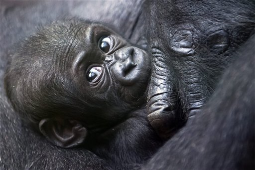 Mawimbi, a western lowland gorilla cub lies in the arm of its mother Mamitu in the Zoo of Zurich, Switzerland on Wednesday, Sept. 19, 2012.