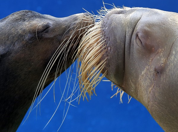 A California sea lion and a walrus kiss each other during a show at the Hakkeijima Sea Paradise aquarium-amusement park complex in Yokohama, southwest of Tokyo, Sunday, Sept. 16, 2012.