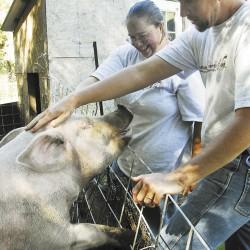 Farm partners raise free-range pigs in Winterport