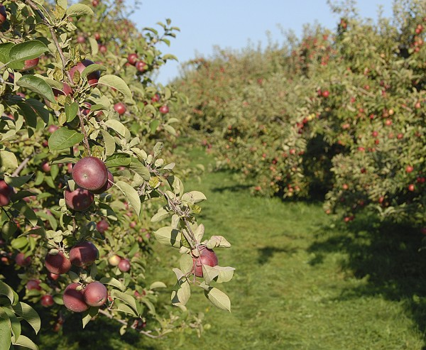Apples await picking in a Bangor-area orchard.