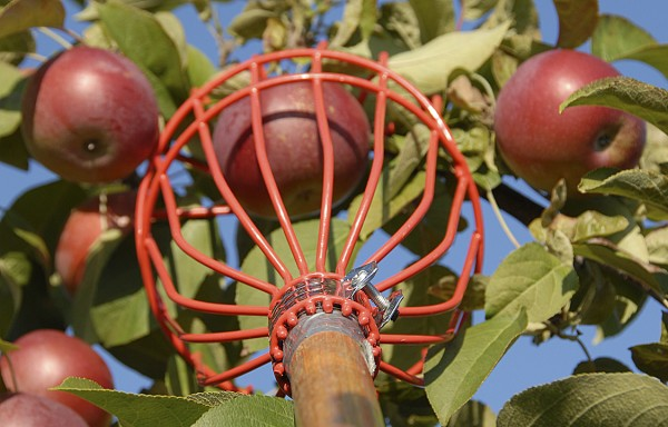 "The hand-held tool called an ""apple-picker"" snags apples with a wire-framed basket. With a quick flick of a human wrist, the basket snips the apple's stem and catches the dropping fruit."