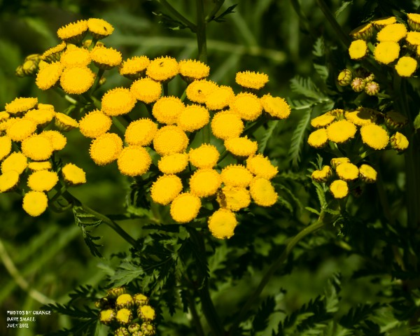Colorful common tansy