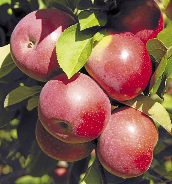 At Conant's Orchard on Route 2 in Etna, juicy, sun-kissed McIntosh apples awaited harvest on Sunday, Sept. 23.