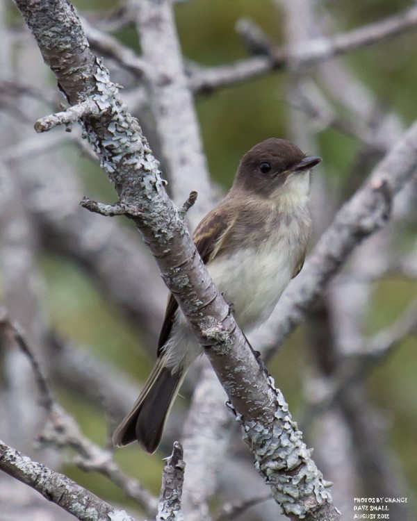 The eastern phoebe