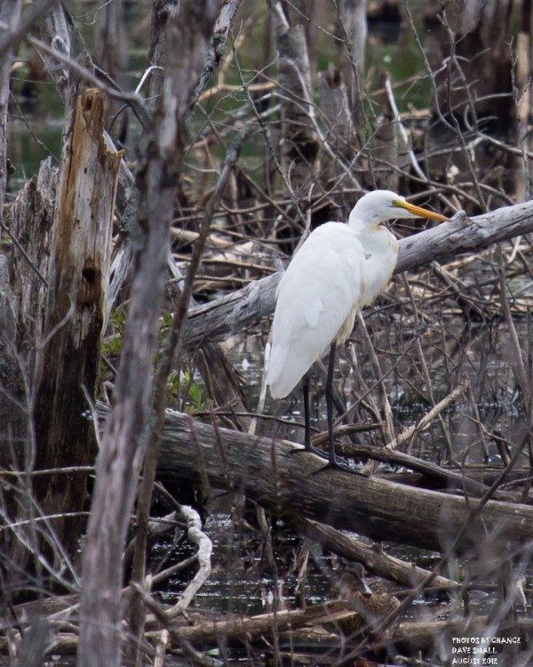 A great egret.