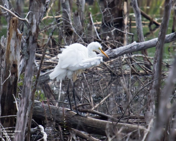 A great egret seen at Essex Street Marsh in Bangor.