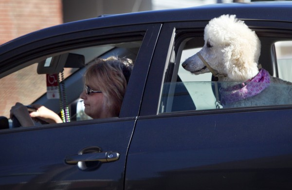 A poodle keeps an eye on the road while riding in the back seat in Freeport.