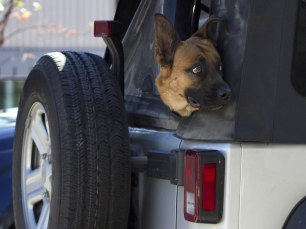 A German shepherd rides with his head out the back window of a Jeep traveling down Main St. in Freeport.