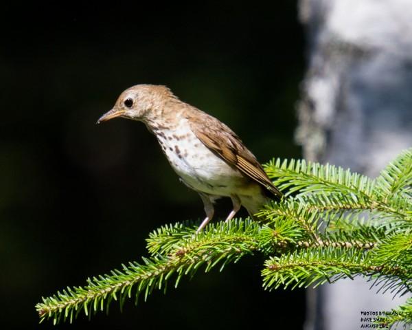 A hermit thrush