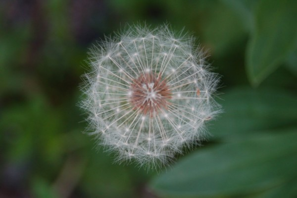 Dandelions are a harbinger of summer, but this late bloomer made its appearance this week in Gouldsboro, Maine to beckon the fall.