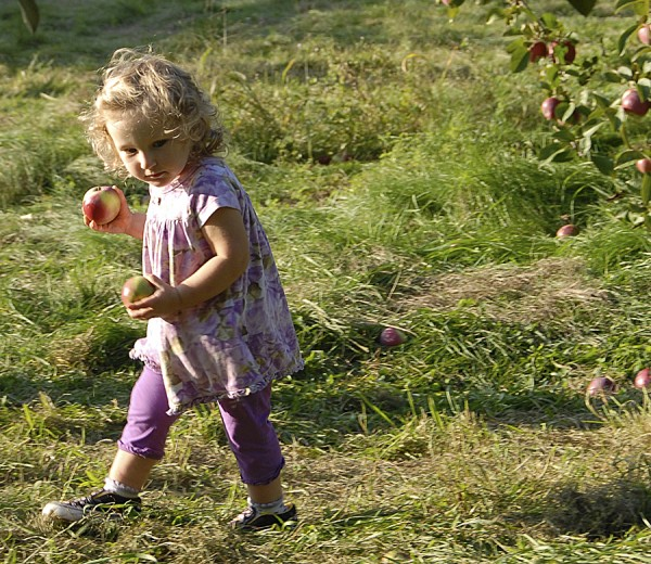 Apples clasped in her hands, a little girl runs through Johnston's Orchards on the Branch Pond Road in North Ellsworth.