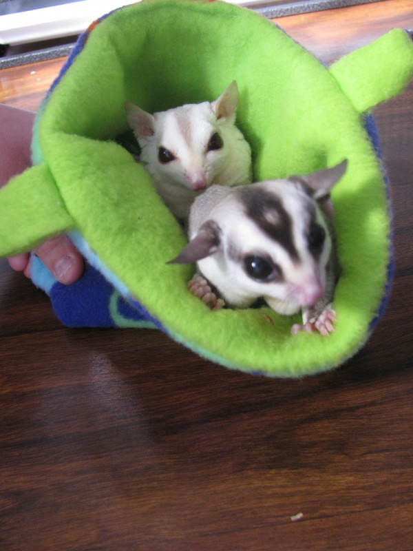 Two of Hannah Lazaro's sugar glider marsupials peer out from inside the pouch where they snuggle during the daytime. The exotic pets are active at night and can glide up to 150 feet.