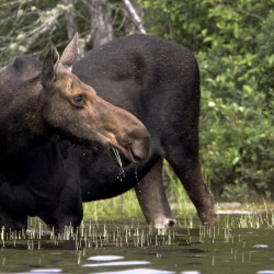 Cool weather pays off for early moose hunters