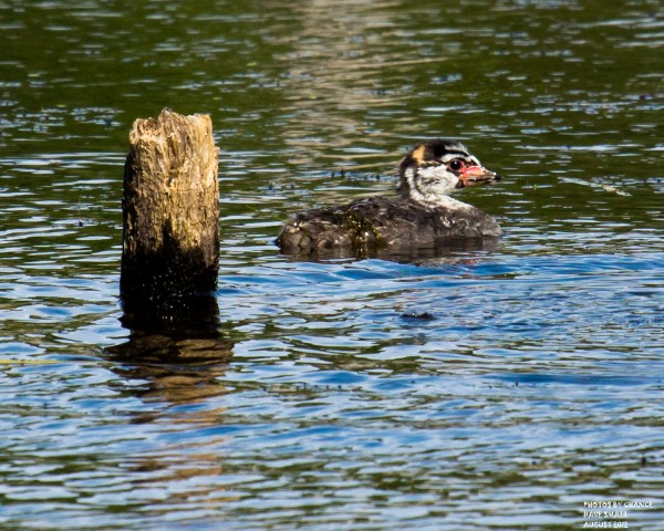 A pied-billed grebe chick swims a few yards from shore.