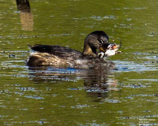 A pied-billed grebe feeding its young only a few yards from shore.