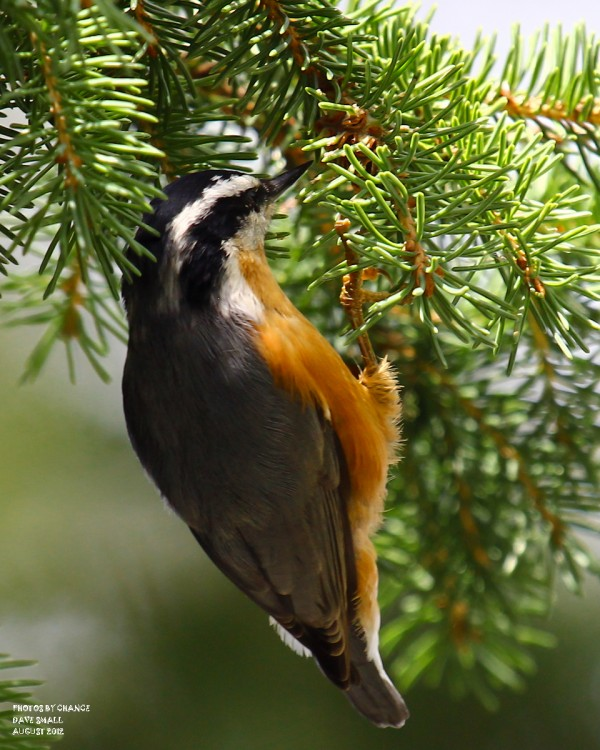 A red-breasted nuthatch.