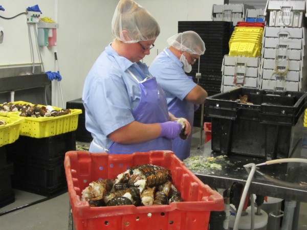 Sea Hag Seafood employees work on the processing line at the St. George lobster plant.