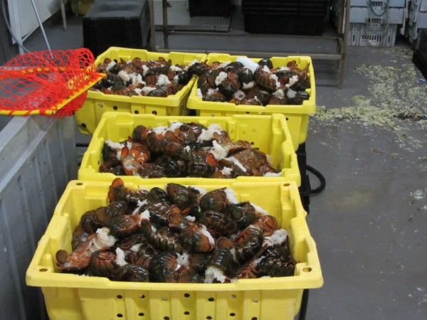 Lobsters fill bins at Sea Hag Seafood in St. George.